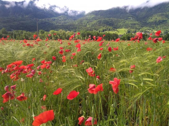 A field of red poppies against the backdrop of the snowy mountains