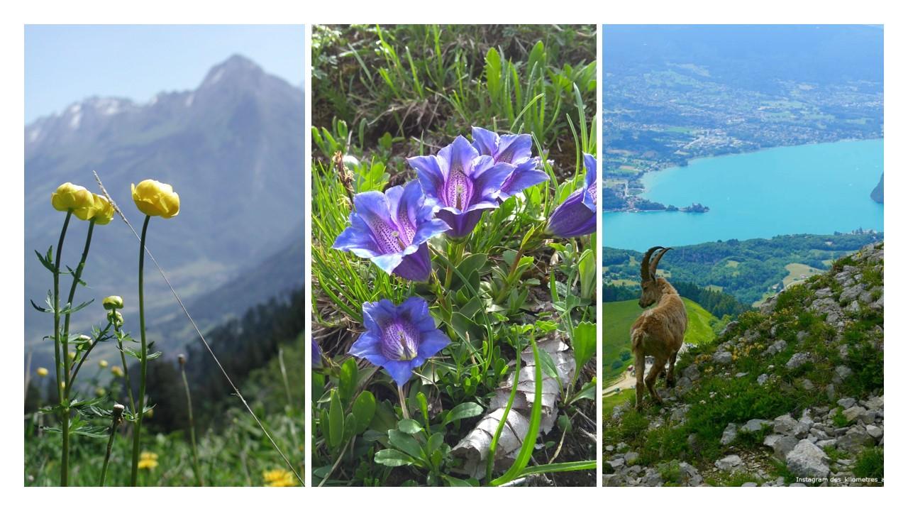 Three photos: Globe flowers, Gentian flowers, Ibex overlooking Lake Annecy